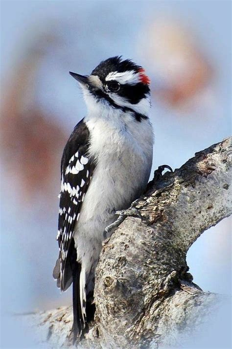 downy woodpecker birds of a feather pinterest