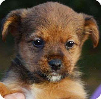 maryland pomeranian rescue dutchess adopted puppy hagerstown md pomeranian chihuahua mix