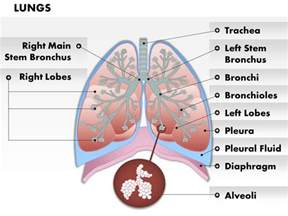 0514 anatomy of human lungs medical images for powerpoint