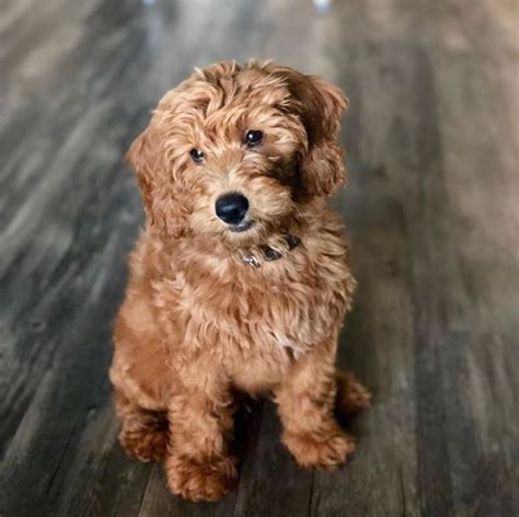 goldendoodle puppies for sale in maine goldendoodle puppies goldendoodle mini