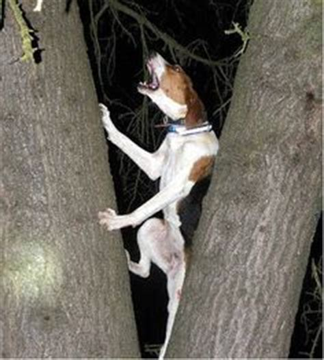 what does a walker hound dog look like treeing walker couonhound photo dog training home dog