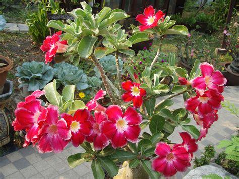 bangkok gardening flowers that thrive during thailand s hot dry season lat s gardening blog