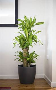 indoor plan 5 big and beautiful indoor plants flower power