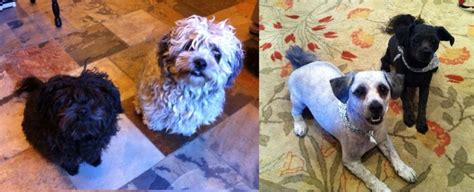 dogs before and after spring haircuts 15 dogs before and after their spring haircuts