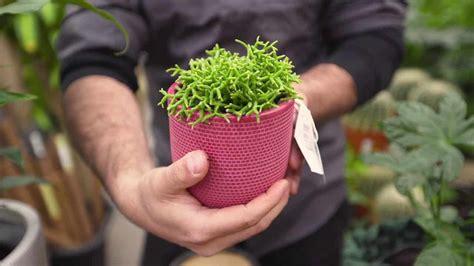 choosing   pot   plant diacos garden nursery