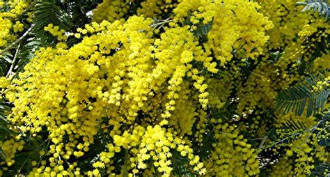 mimose fiori fiori mimosa fiori di piante i fiori di mimonsa