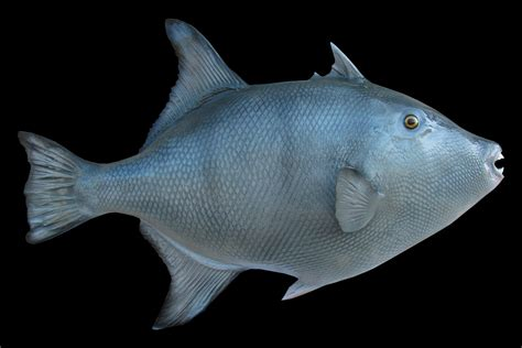 Fish For grey trigger fish fish mount and fish replicas coast to