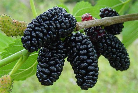 when do mulberry trees fruit plant spotlight the plucky mulberry morus