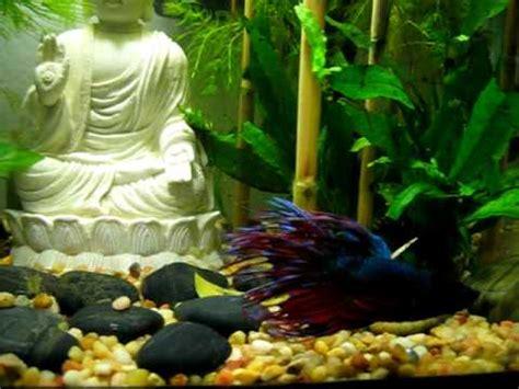 Buddha Decor For The Home betta swimming in my zen buddha rock garden aquarium youtube