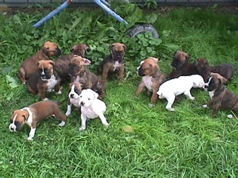 puppy mills in lancaster pa breed boxer puppies for sale with papers jades boxers philipsburg pa
