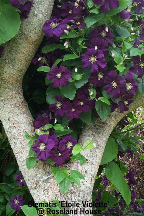 clematis viticella etoile violette 4887 roseland house nursery plant fair