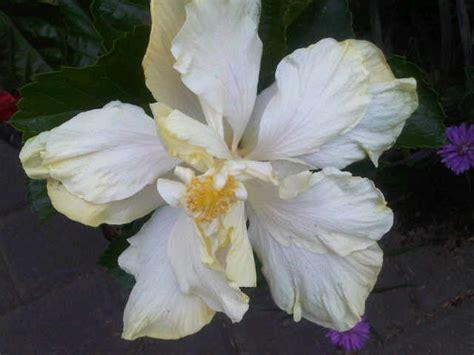 Tanaman Hisbiscus tanaman hibiscus ivory bangkok jual tanaman hias
