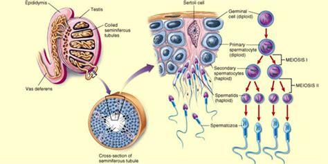 seminiferous tubules diagram spermatogenesis the purpose and process of spermatogenesis