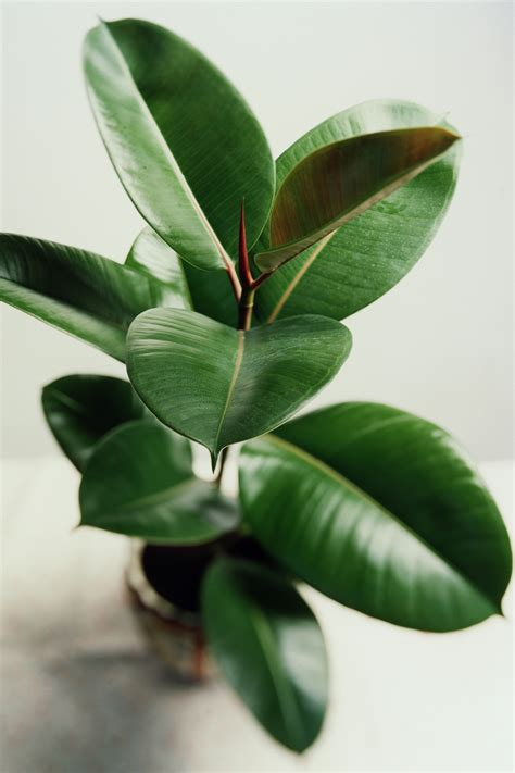 indoor house plants the 25 indoor plants you can t kill rubber plant plants