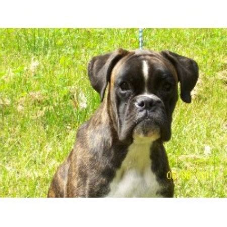 boxer puppies for sale in maine jawboxen european boxers boxer breeder in alfred maine listing id 14288