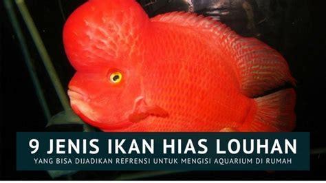 Jual Pakan Ikan Louhan Di Palembang gambar sumatera deadline 120 peserta ikuti kontes louhan