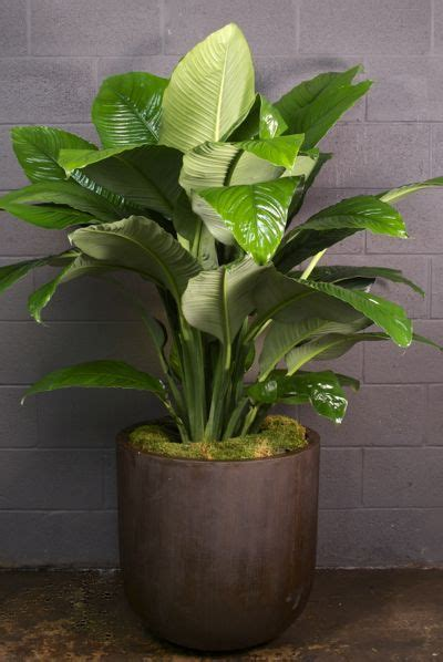 houstons  indoor plant pot store large spath