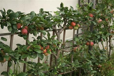 Passion Fruit Plant Diseases - espalier fruit tree step by step espalier directions