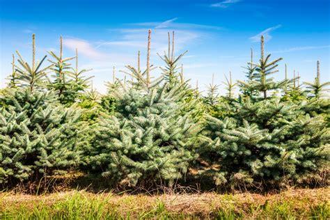 christmas tree nursery stock thenurseries