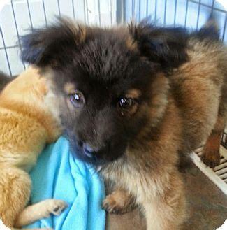 corgi puppies chicago chicago il corgi german shepherd mix meet nelson a puppy for adoption