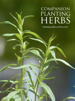 companion planting chart living herbs new zealand companion planting vegetables herbs