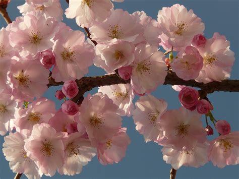 immagini fiori di ciliegio foto gratis fiore di ciliegio fiore albero immagine