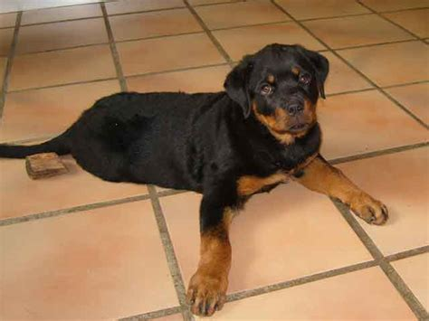 rottweiler colors rottweiler breed rottweiler temperament grooming coat colors shedding health
