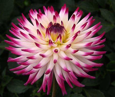 fiori dalie dahlia dalia dalia cactus dalia pomp 243 n