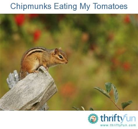chipmunks tomatoes thriftyfun