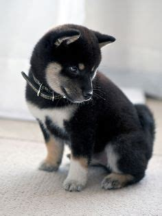 kugsha puppies kugsha info history temperament puppy pictures