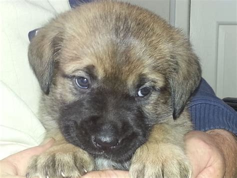 rottweiler akita mix sheperd x puppies 150 posted 1 year ago for sale dogs mixed breed quotes