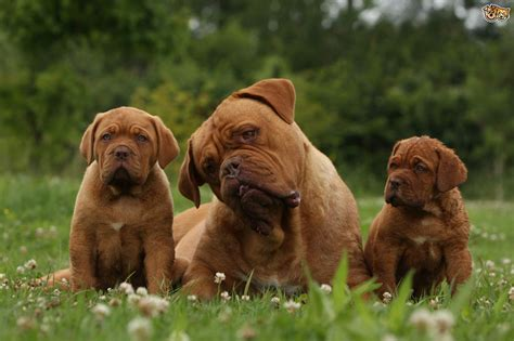 puppies in delaware dogue de bordeaux breed information buying advice photos and facts pets4homes