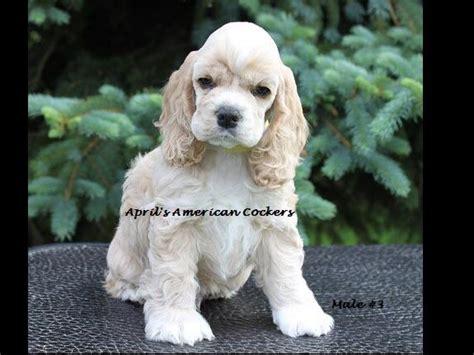 cocker spaniel puppies for sale in michigan april s american cocker s breeders imlay city mi
