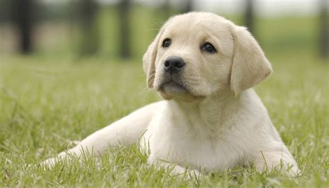 the puppy how to stop your labrador puppy biting the labrador site
