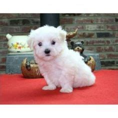 cheap maltese puppies for sale maltese puppy for sale near fort smith arkansas 0ea441f4 64d1 teacup maltese for