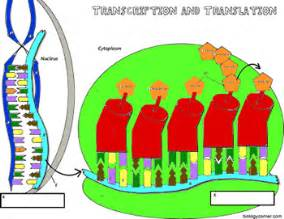 dna coloring transcription and translation the biology corner