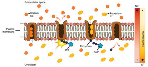 transport   cell membrane boundless microbiology