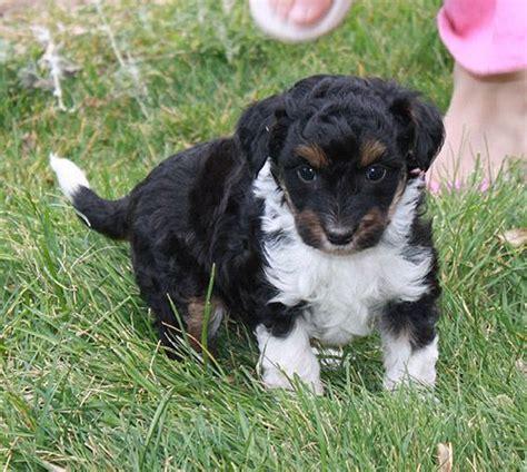 mini aussiedoodle mini aussiedoodle favorite puppies