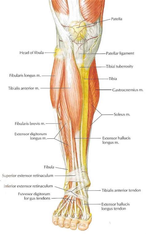 leg tendons diagram leg anatomy muscles ligaments and tendons diagram