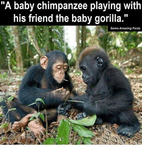 Chimp Meme - 25 best memes about chimpanzee chimpanzee memes