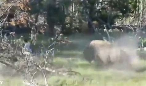 animal two boy and one yellowstone national park warns tourists after bison