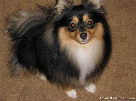 smallest pomeranian breed breeds pomeranian
