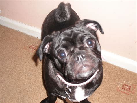 black pugs for sale in black pugs for sale thetford norfolk pets4homes