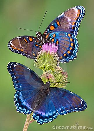 red spotted purple butterflies royalty  stock