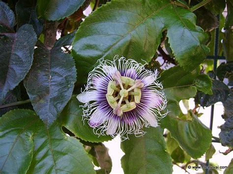 passiflora coltivazione in vaso passiflora edulis 215 colvilli coltivazione e vendita