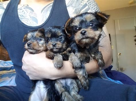 yorkie puppies for sale in sacramento view ad terrier puppy for sale california sacramento usa