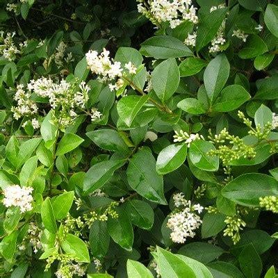 woodland plants supplier ( ligustrum ovalifolium ) oval