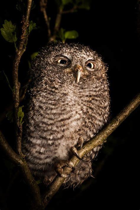 eastern screech owl nature pinterest