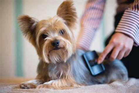 how to groom a yorkie at home terrier grooming