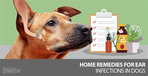 ear drops for dogs ear infection our top 5 remedies for ear infections